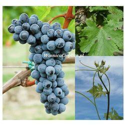 Sadzonka winorośli Merlot Kanthus® rabat 8%
