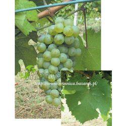 Riesling Reński sadzonka winorośli