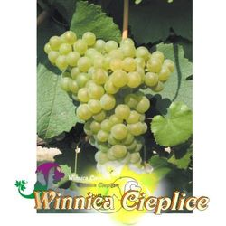 Sadzonka winorośli Bachka rabat 8%