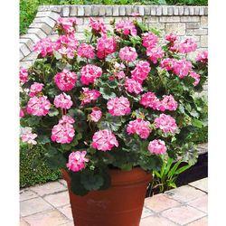 Pelargonia olbrzymia 'Antik' - różowa 1 szt