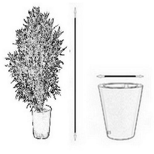 Pozostałe rośliny i hodowla, Kencja Howea Fosteriana duże drzewko