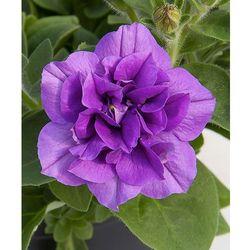 Petunia pełnokwiat. zwisająca – fioletowa 3 szt