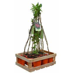 Plantacja mini kiwi - zestaw 10 roślin CLEMATIS