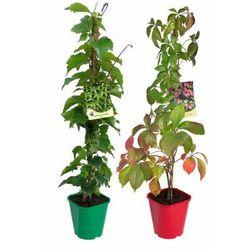 Ściany zieleni - zestaw 10 roślin CLEMATIS