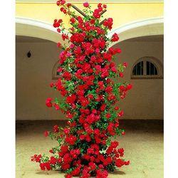 Róża pnąca Gruss an Heidelberg® 1 szt