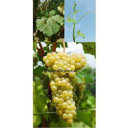Sadzonka winorośli Soreli® rabat 8%